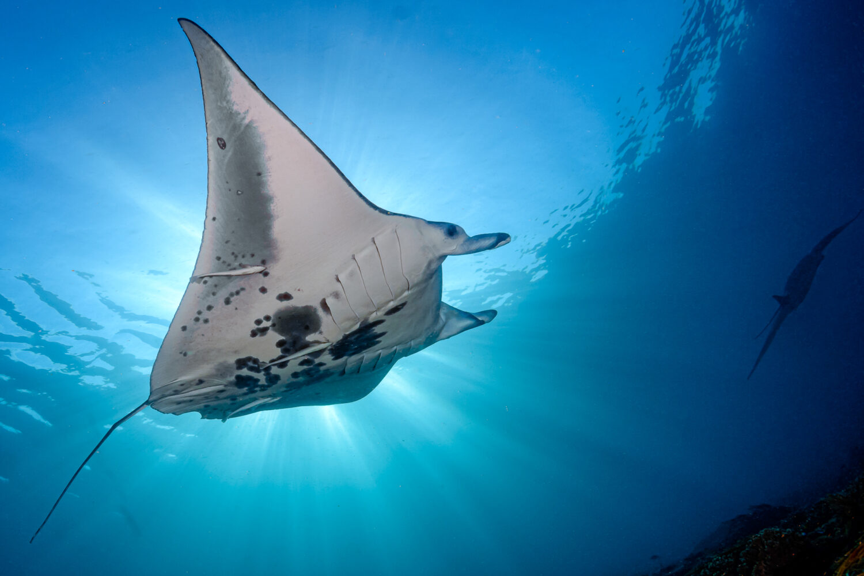 komodo trip Hammerhead Shark Diving Stingray