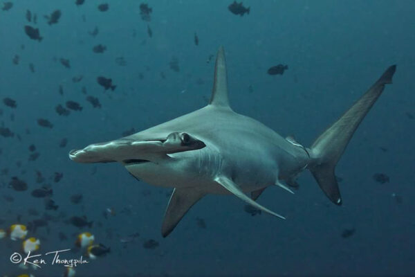 Découvrez les requins marteaux lors d'une croisière plongée en mer de Banda