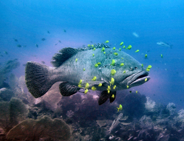 Hammerhead Shark Diving merou koon catherine : Croisière plongée