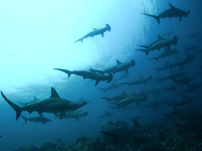 Croisière plongée : requin marteau