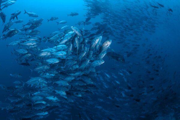 whale sharks diving schoolingjacks schoolingsurgeon capekri cruisingrajaampat liveaboard