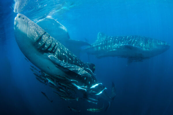 Scuba Diving Liveaboard Triton bay whale shark