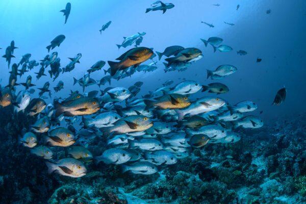 schoolingfish cruisinghalmahera