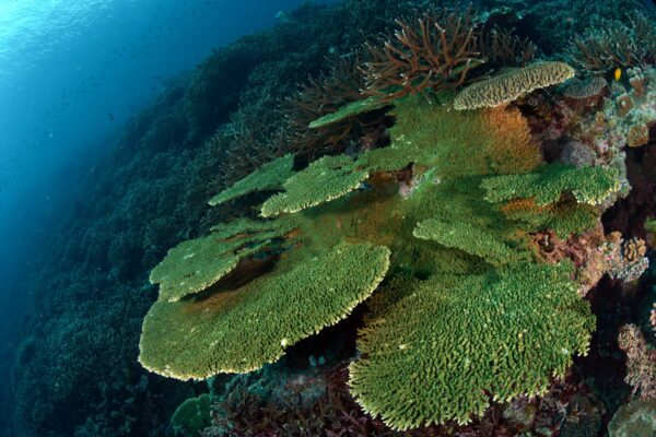 coralgarden banda lavaflow divesite crusingbandasea