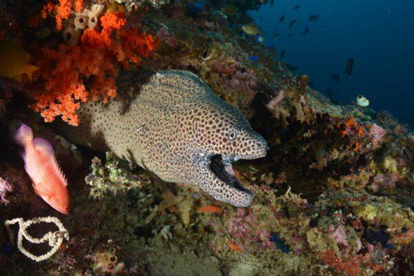 leopardmorayeel cruisingbandasea indonesia underwater batu kapal
