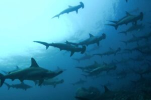 liveaboard konjo cruising indonesia island cruise scuba diving yacht charter luxury package whale shark triton bay raja ampat misool halmahera komodo hammerhead