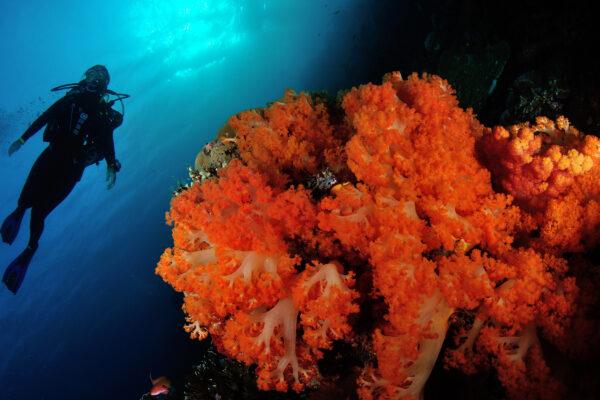 scuba diving komodo red coral