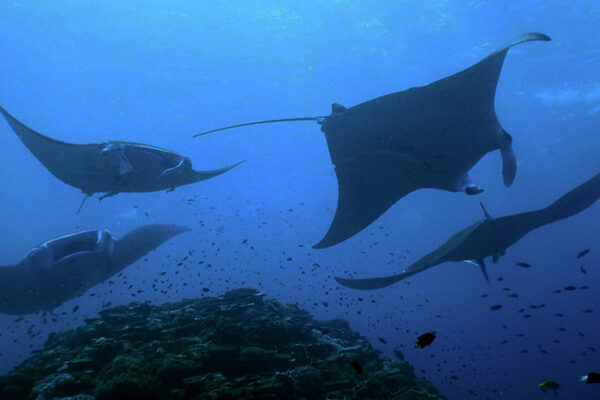 scuba diving komodo manta
