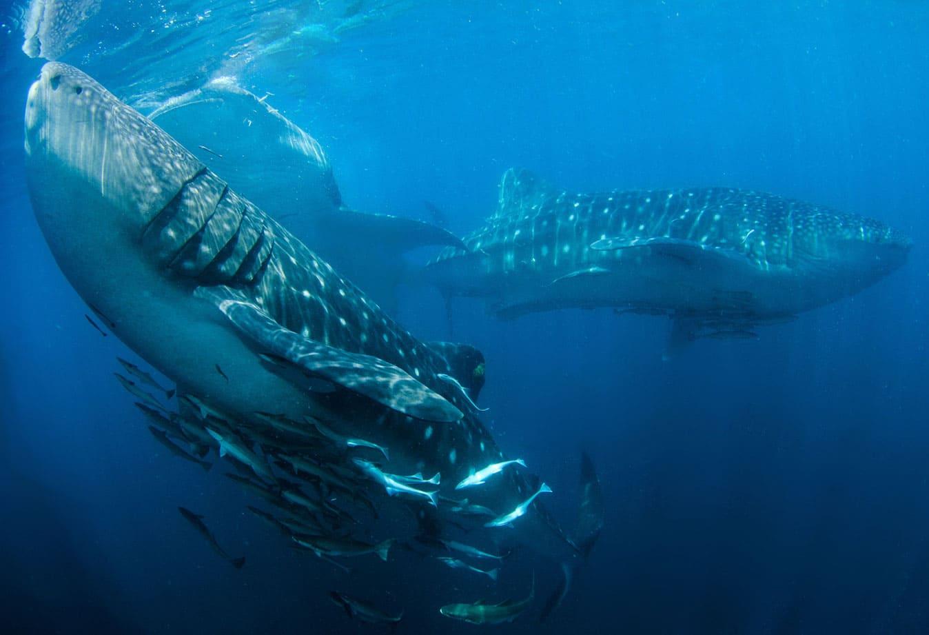 top triton bay whale shark diving konjo cruising indonesia island cruise liveaboard scuba yacht charter luxury raja ampat misool halmahera komodo hammerhead banda sea
