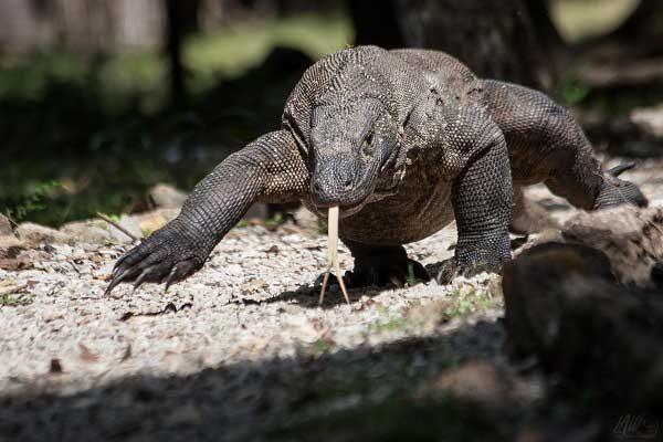 Découverte des dragons de Komodo